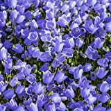 Outsidepride Bellflower Campanula Carpatica Blue Plant Seed - 5000 Seeds