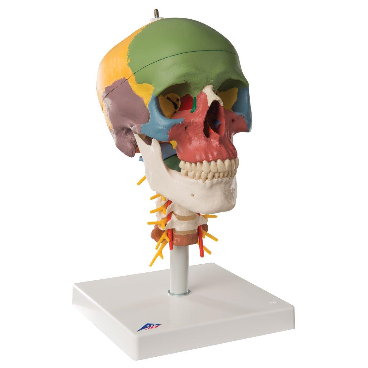 【日本製】 頭蓋,頚椎付,骨別カラー4分解モデル B006YWWS7Q B006YWWS7Q, ナンセイチョウ:e223aa76 --- a0267596.xsph.ru