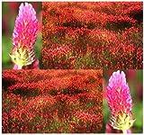 4oz (14,000+ seeds) FRENCH CRIMSON CLOVER Seeds - Nectar Source for Honey Bees - BULK Trifolium Incarnatum ~ FRAGRANT FLOWERS