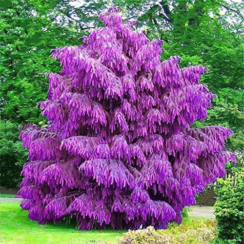 - discountstore145 100Pcs Spruce Seeds Garden Yard Courtyard Ornamental Plant Tree Bonsai Decor - Spruce Seeds