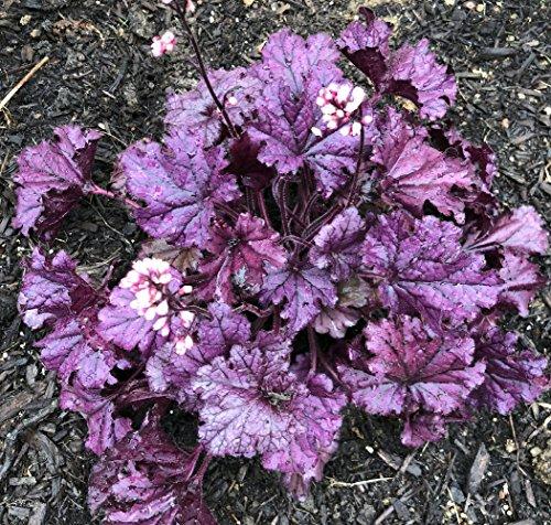 - Forever Purple Coral Bells - Heuchera - Shade Perennial - Live Plant -Gallon Pot