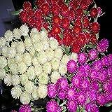 NIKITOVKASeeds - Globe Amaranth Mix - 150 Seeds - Organically Grown - NON GMO