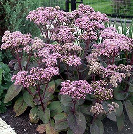 Amazon 50 seeds of sedum telephium matrona stonecrop 50 seeds of sedum telephium matrona stonecrop purple leaf succulent perennial pink altavistaventures Image collections