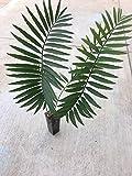 Encephalartos Munchii BLUE FORM Overgrown Plant