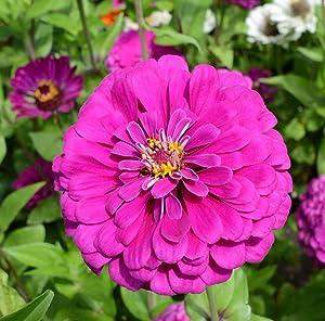 David's Garden Seeds Flower Zinnia Solid Color Dark Violet 1160 (Violet) 500 Non-GMO, Open Pollinated Seeds