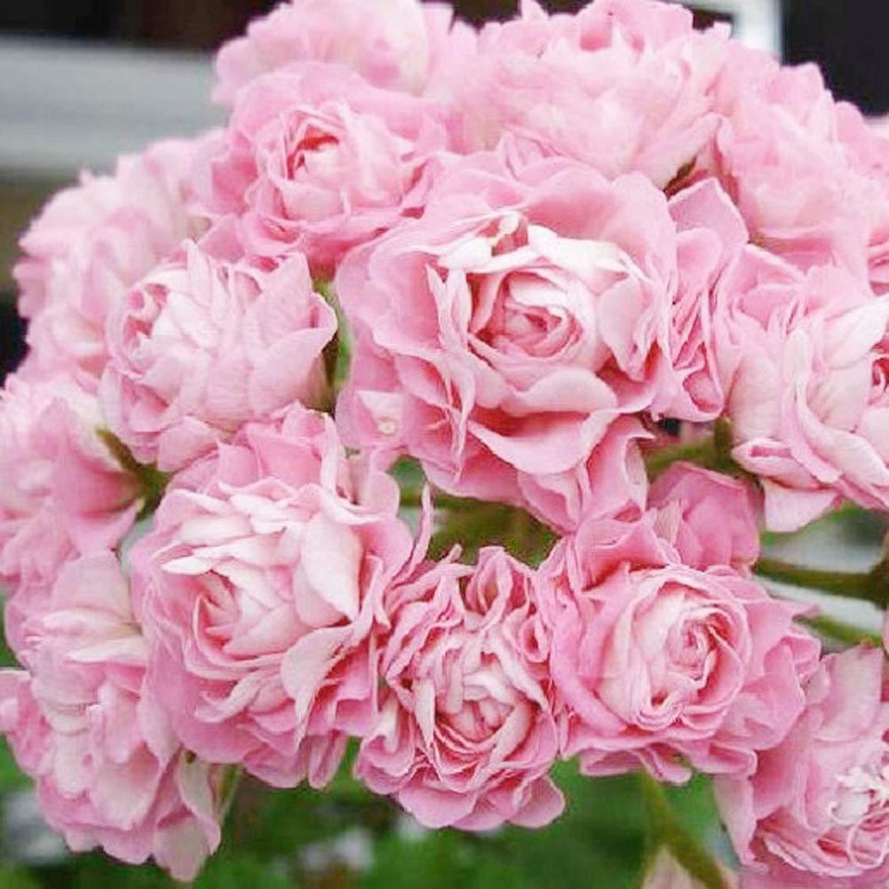 10 pezzi fiori di geranio multipetalo per decorazione da giardino Semi di pelargonio Happyhouse009