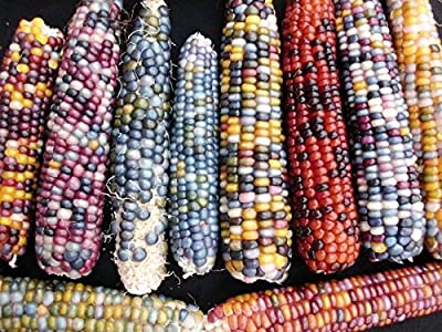 15 LARGE Mixed Colors GLASS GEM CORN Ornamental Edible Zea Mays Vegetable Seeds