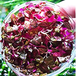 Greenpro Alternanthera Reineckii Rosanervig Red Live Aquarium Plants in Tissue Culture Cup No Pesticide 100% Pest Snail and Algae Free