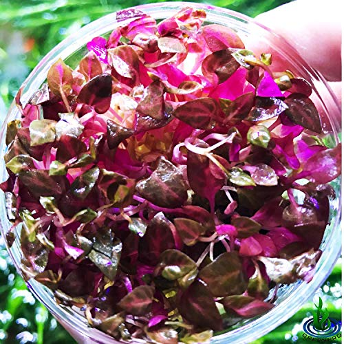 Greenpro Alternanthera Reineckii Rosanervig Red Live Aquarium Plants in Tissue Culture Cup No Pesticide 100% Pest Snail and Algae Free ()