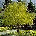 CORNELIAN CHERRY DOGWOOD cornus mas 10 seeds