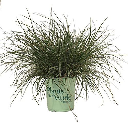 Plants that Work Everest Sedge - Grass - Carex Everest - (Carex Grass)