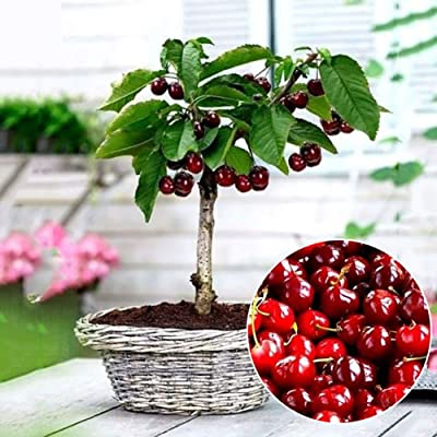 hfjeigbeujfg Garden Seeds, 20Pcs Cherry Seeds Delicious Fruit Seeds Bonsai Garden Decoration Tree Plant : Garden & Outdoor