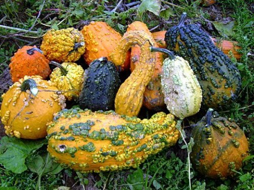 Lunch Lady Gourd 20 Seeds - Wild Mix of (Mix Gourd)