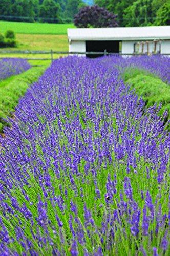 Burpee Perennial Lavender 'Phenomenal', 4'' pots, 1 plant, Fragrant, Evergreen, Pollinator Friendly by Burpee (Image #1)