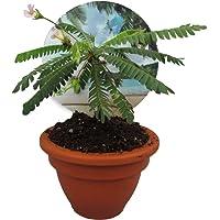 Südseepalme, (Biophytum sensitivum), im 9cm Tontopf, ideal für Kinder, die Pflanze die sich bewegt