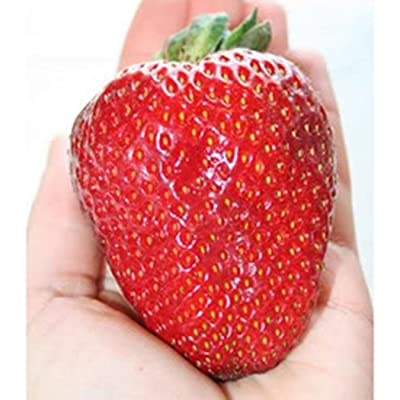 HOTUEEN 100 Seeds Garden Fruit Plant Delicious Giant Maximus Strawberry Seeds Fruits : Garden & Outdoor