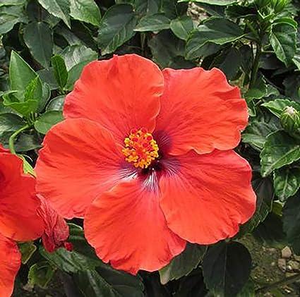 Amazoncom Kades Dark Heart Tropical Hibiscus Plant 4 Pot