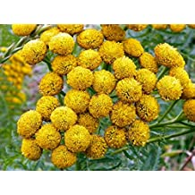 100 YELLOW TANSY Double Golden Buttons Fern Leaf Tanacetum Vulgare Flower Seeds *Flat Shipping