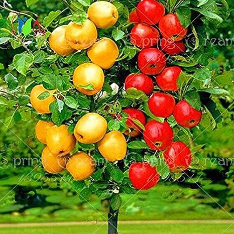 30 Pcs Semillas De Apple Bonsai Arbol Bonsai De Frutas Raras Tree Planta De Interior Para El Jardin De Su Casa A Traves De Correo Aereo Correos De Hong Kong Amazon Es Jardin