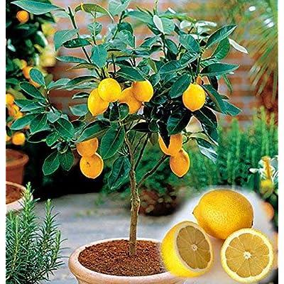 shopmeeko 10pcs/Bag Edible Fruit Meyer Lemon, Exotic Citrus Bonsai Lemon Tree Fresh: Home & Kitchen