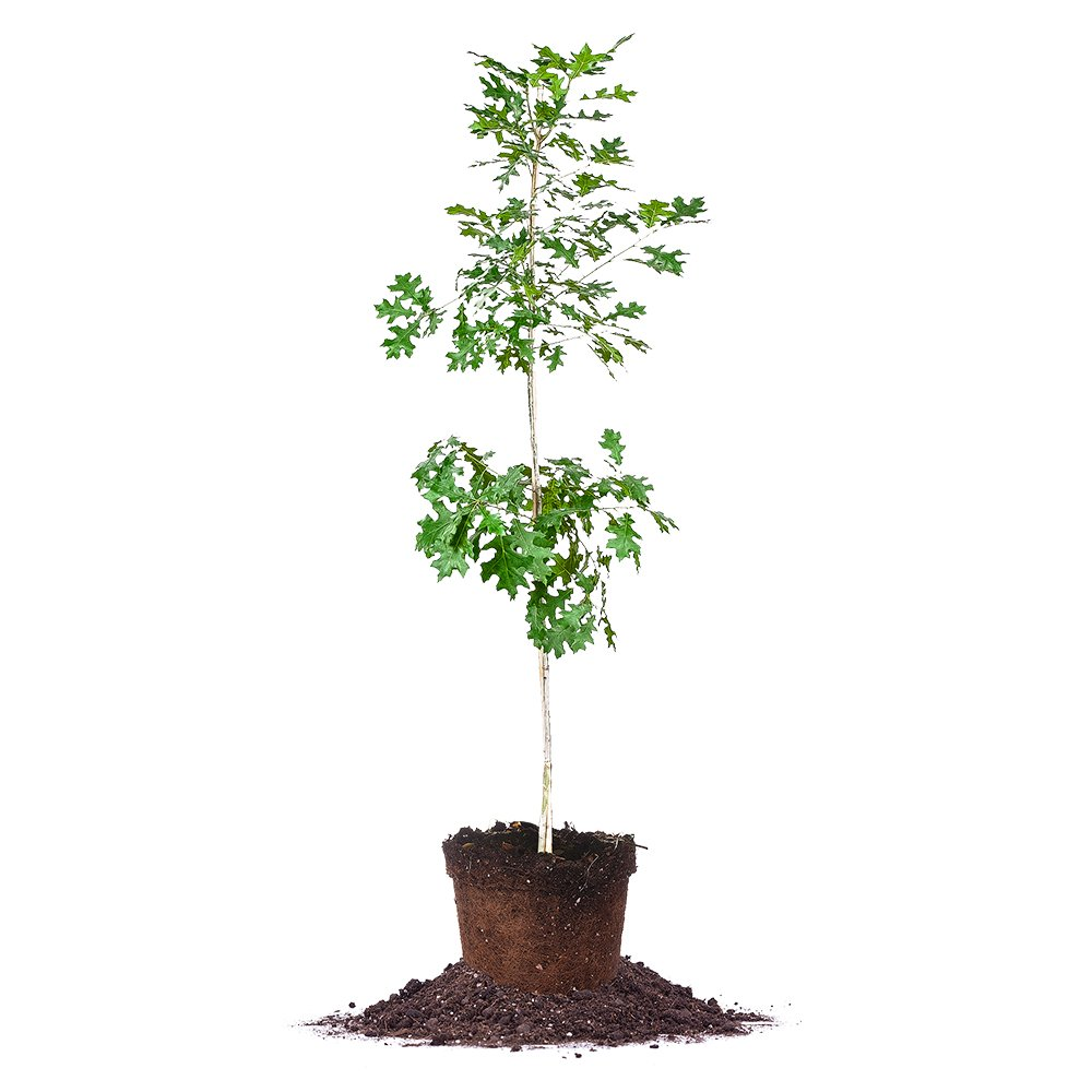 Nuttall Oak - Size: 3-4 ft, Live Plant, Includes Special Blend Fertilizer & Planting Guide