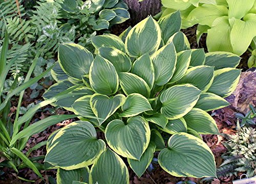 Aureo Marginata Hosta- Large Vase-Shaped Mounding Habit- Summer Sale -Gallon Pot