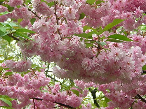 KWANZAN Cherry Tree - Double Flowers 2 - Year Live Tree by Japanese Maples and Evergreens (Image #5)