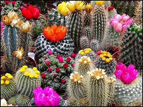 Cacti Cactus Mix Seeds Succulents Barrel Plant Beautiful for Planting Non GMO 40 Seeds