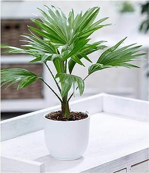 """Palme /""""Livistona Rotundifolia/"""",1 Pflanze"""