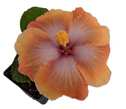 Amazoncom Tahitian Sophistication Tropical Hibiscus Plant 4 Pot