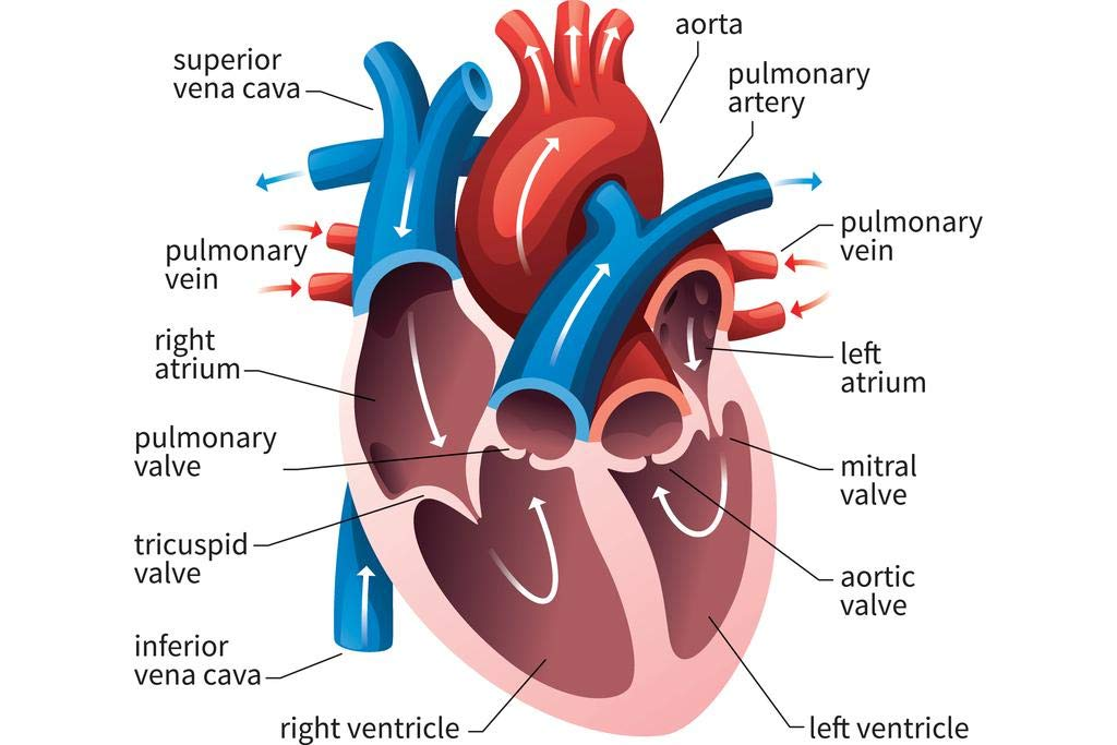 Human Heart Circulatory System Diagram Chart Laminated Dry Erase Sign Poster 18x12