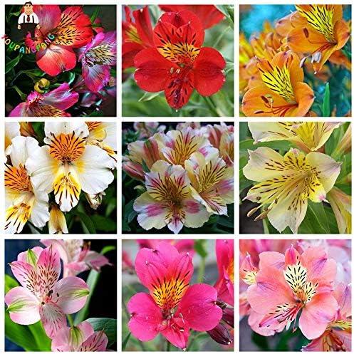 Youpangpang 100 Pcs Rare Peruvian Lily Alstroemeria Bonsai Plants Mix Color Beautiful Lilies Flower For Home Garden Flowers Plants Amazon Co Uk Garden Outdoors