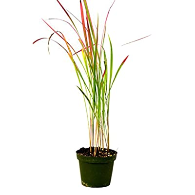 9GreenBox - Japanese Blood Grass - 4'' Pot: Garden & Outdoor