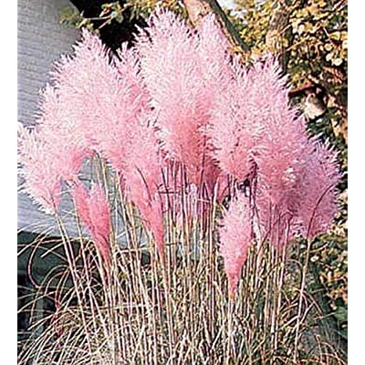 Ornamental Grass Seed - Cortaderia Pampas Grass Selloana Pampas Pink : Garden & Outdoor