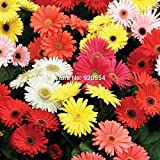 1 original packing Gerbera jamesonii,Barberton Daisy seeds Bonsai potted plant DIY home garden free shipping