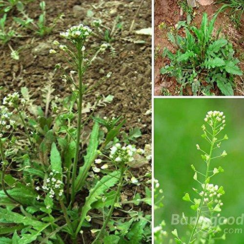 PhilMat 100 piezas de jardín vegetal bolsa de pastor de semillas brassicaceae Bienal la hierba Phil Mat BG