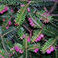 Dwarf Greek Fir Meyers Dwarf 2 - Year TREE