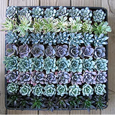 JIIMZ 64 Rosette Only Succulents: Wedding Collection Party/shower Favors By Jiimz