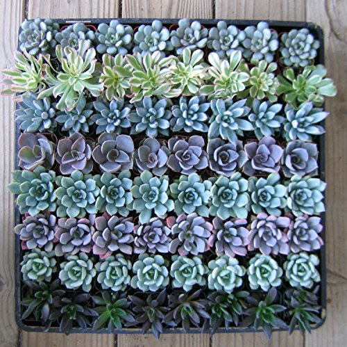 Shop Succulents | Radiant Rosette Collection of Live Succulent Plants, Hand Selected Variety Pack of Mini Succulents | Collection of 20