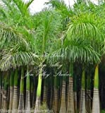 Roystonea Regia Royal Palm Seeds New Harvest Exotic Tropical Plant Gardening
