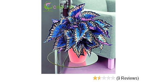 Amazon.com : 100pcs Janpanse Bonsai Coleus Seeds Foliage Plants ...
