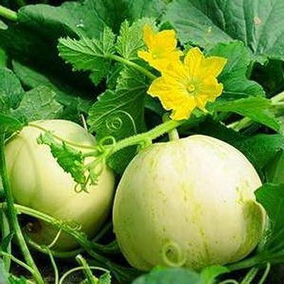 QiBest Muskmelon Seeds Delicious Sweet Melon Garden Fruit Fruits: Home Improvement