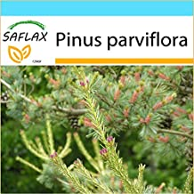SAFLAX - Gift - Set - Japanese White Pine (Pinus parviflora) - 10 Seeds - With gift box, greeting card, soil and shipping label