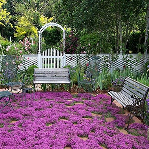 Bulk 1,200 Creeping Thyme Seeds, Ground Cover, Fragrant, Zones 4 to 9, Low Growing, Garden Borders, Perennial, Thymus serpyllum