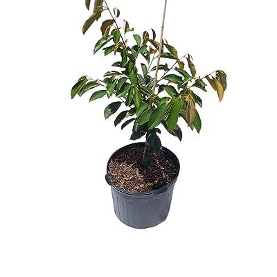 Star Apple Caimito Morado Grafted Tree 7-Gal Container from Florida : Garden & Outdoor
