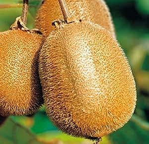 semillas de kiwi 200 PC Plantas Tailandia mini fruta de kiwi Bonsai, delicioso Pequeño frutales de pepita de jardín de casa
