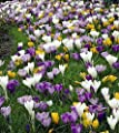 Large Crocus Mix - 20 Bulbs - Best Seller - 8/9 cm Bulbs