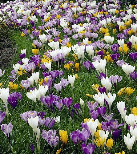 Large Crocus Mix - 20 Bulbs - Best Seller - attracts bees and pollinators