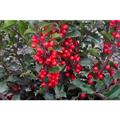 China Girl Holly Plant BGV05 : Garden & Outdoor