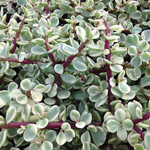 Portulacaria afra variegata - Spekboom - 10 cm Cutting (unrooted) CactusPlaza.com
